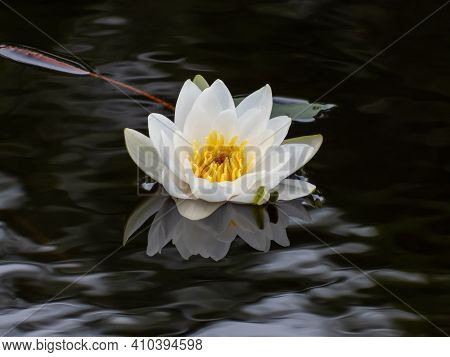 Delicate White Water-lily Flower Blooming With Yellow Middle And Its Reflection In The Lake Water