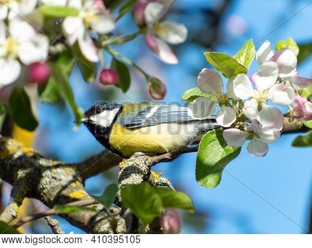 Closeup Of Great Tit (parus Major) Looking Up And Sitting On The Branch In An Apple Tree Blooming Wi