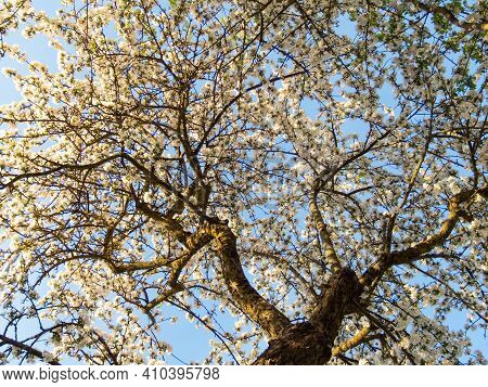 Beautiful Background Of Blossoming Apple Tree With White Flowers And Trunk On Blue Sky Background