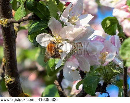 Closeup Of Bumblebee Collecting Pollen From Blossoming Apple Tree Flowers. Pink Buds And White Flowe