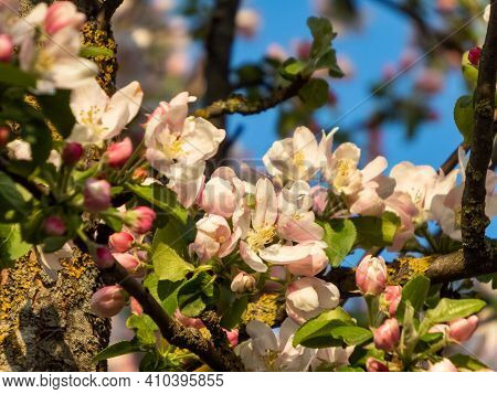 Closeup Of Pink Buds And White Flower Of Apple Tree On Blue Sky Background
