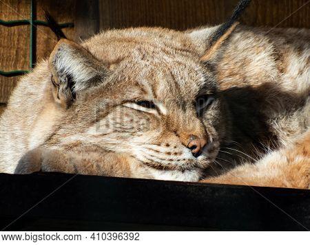 Portrait And Close-up Of Sleepy Wild Cat The Eurasian Lynx (lynx Lynx) Resting In Enclosure On A Sun