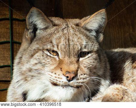 Portrait And Close-up Of A Medium-sized Sleepy Wild Cat The Eurasian Lynx (lynx Lynx) Sitting In Enc