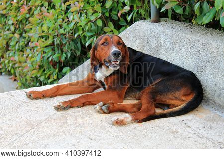 A Young Brown And Black Labrador Retriever Dog Lies On A Background Of Green Leaves. Newfoundland Hu