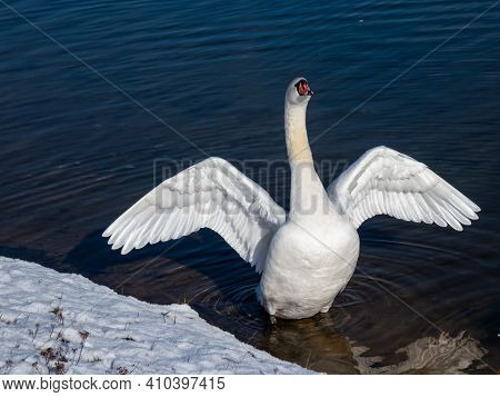 A Beautiful Mute Swan Streaching Out Its Wings With Dark Blue Winter Lake Background On A Sunny Day