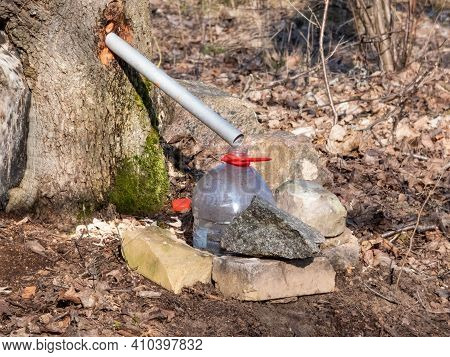 Collecting Sap From Trunk Of Maple Tree In Spring To Produce Maple Syrup. A Maple Tree Has Been Tapp