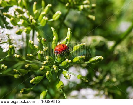 The Adult Two-spot Ladybird (adalia Bipunctata) In A Green Flower In Sunlight On Summer. View From B