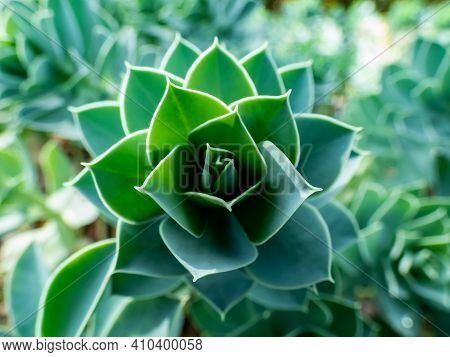 Close Up Shot Of Succulent Green Tropical Plant Leaves. Myrtle Spurge Spirals Of Bluish-green Leaves