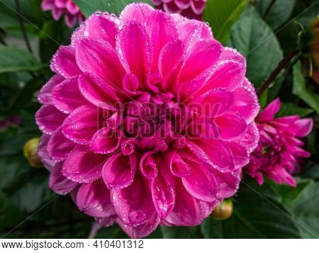 Close Up Shot Of Beautiful Bright Pink Garden Dahlia Flower Head With Morning Dew Drops On Petals In
