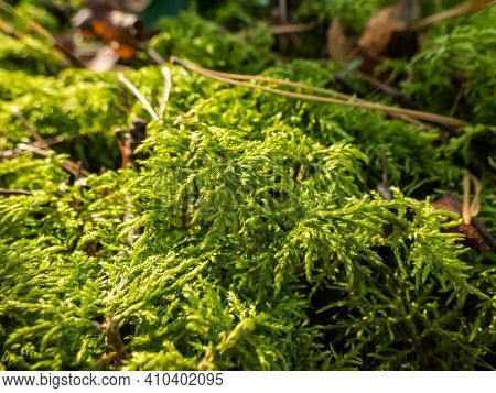 Forest Floor Carpet Covered In Green Moss - Long-leaved Tail-moss In Wet Forest. European Moss Speci
