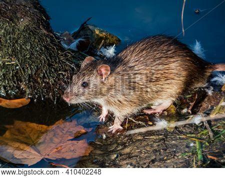 Common Rat (rattus Norvegicus) With Dark Grey And Brown Fur Between Long Grass Stems