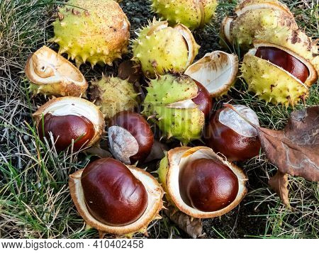 Closeup View Of Fresh Horse Chestnuts. Autumn Background With Heap Of Ripe Brown Horse Chestnuts And