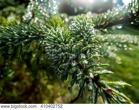 Close Up Of Dew-drops On Evergreen Pine Needles Early In The Morning After Rain.