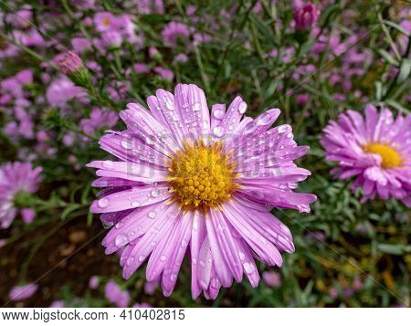 Close up shot of blooming pink, round alpin aster (Aster alpinus) covered with water drops in the garden on autumn. Floral and autumn background. Round geometrical pattern