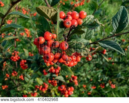 Evergreen Shrub Orange Cotoneaster (cotoneaster Franchetii) Branches Full Of Ripe Fruits With Green