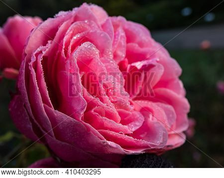 Close Up Of Beautiful Perfect Full Pink Rose With Dew Drops On Petals. Beautiful Summer Background,