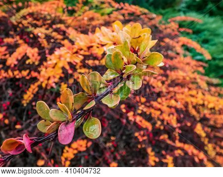Red Barberry Shrub Branch With Green Leaves Turning Yellow And Red In The Autumn