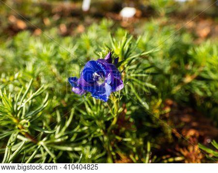 Water Drops On Blue Flower Of Armenian Speedwell Between Green Leaves