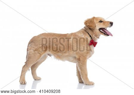 side view of happy golden retriever puppy wearing red bowtie, looking to side, sticking out tongue and panting, standing isolated on white background in studio