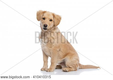 side view of adorable golden retriever dog sitting isolated on white background in studio