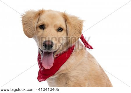 side view of happy golden retriever dog wearing red bandana, sticking out tongue and panting, sitting isolated on white background in studio