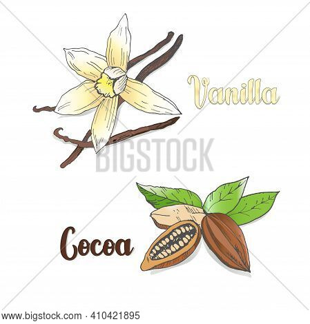 Vector Colored Sketch Of Vanilla And сocoa Pods Isolated On White Background. Spices, Seasonings, In
