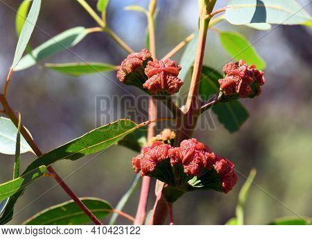 Red Buds Of The Australian Native Mallee Gum Tree Eucalyptus Erythrocorys, Family Myrtaceae. Also Kn