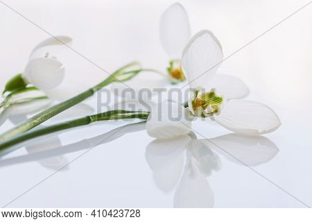 White Snowdrops On A White Background Close-up. Macro Of Spring Flowers In Soft Focus. Horizontal Fl