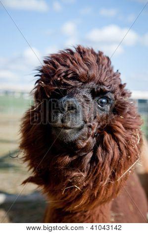 Head of a funny Alpaca