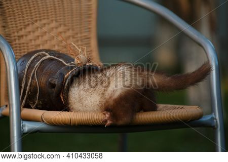 Cowardly Ferret Runs Away In A Clay Amphora On A Wicker Chair In The Summer At The Cottage Outside T