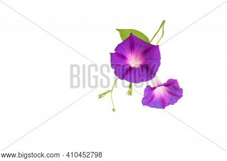 Beautiful Plant Color Is Morning Glory. Purple Bindweed Flower On White Background, Isolate. Convolv