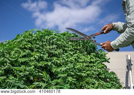 A Gardener In The Garden With A Hut Cuts A Tree With Hedgehogs Against The Sky. Garden Care.