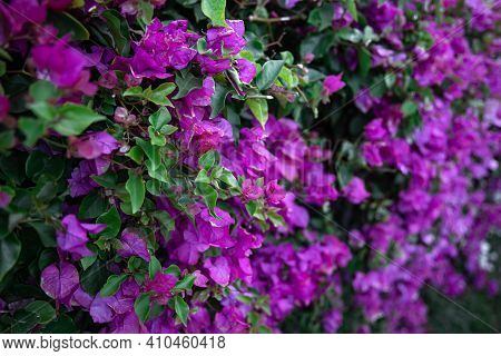 Close-up Of A Variegated Bush With Lilac Leaves. Exotic Plants Of Egypt.