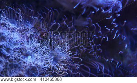 Soft Corals In Aquarium. Closeup Anthelia And Euphyllia Corals In Clean Blue Water. Marine Underwate