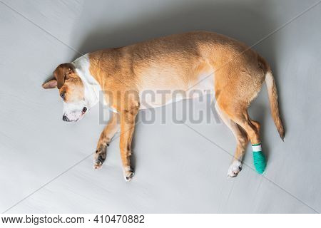 Dog Lays On The Side With Leg In Medical Bandage. Wounded Pets, Trauma, Hurt Paw, Veterinary Concept