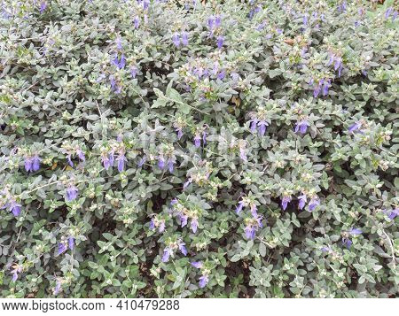 Silvery Leaves And Blue Flowers Shrubby Germander Hedge. Teucrium Fruticans Bush Closeup.