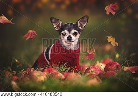 cute chihuahua wearing a sweater in fall with leaves around him