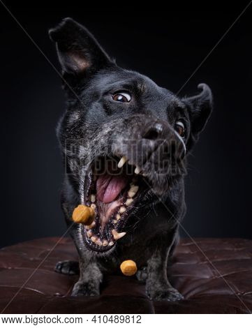 cute terrier mix on an isolated black background in a studio