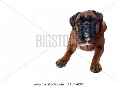 Male Boxer with European Bloodlines