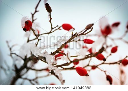 Photo of hoarfrost on wild-rose