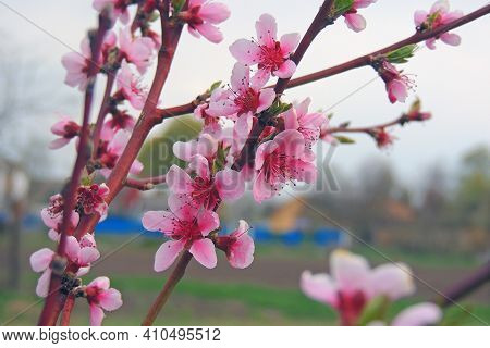 Peach Fruit Tree Bloomed In The Garden