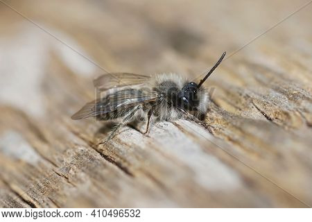 Closeup Of A Male Clarke's Mining Bee , Andrena Clarkella Warming Up In Hte Sunlight On A Wooden Pol