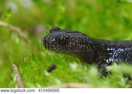Closeup Of A Juvenile Ezo Or Hokkaido Salamander, Hynobius Retardatus  On Green Moss