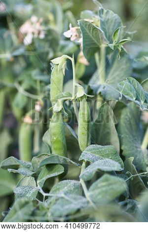 Pods Of Green Peas. Bush Of Young Peas. Close Up.