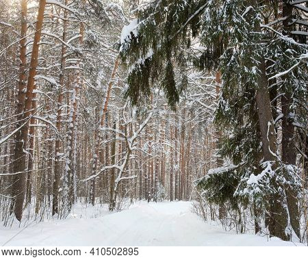 Walking Path In The Winter Sunny Pine Forest