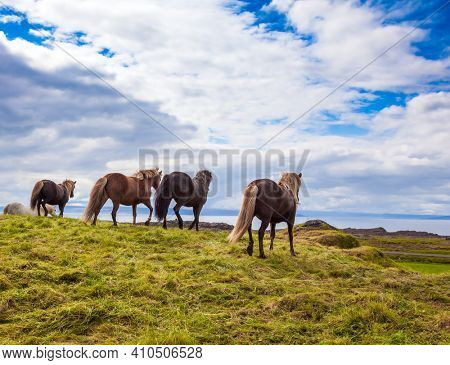 Herd of horses. Golden summer sunset. Icelandic horses are popular in Europe and North America. Icelandic summer tundra. Only one breed of horse lives in Iceland. Ecological and photo tourism