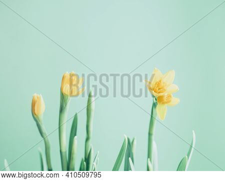 Beautiful Spring Banner With Fresh Yellow Daffodil Flowers Against Light Green Background. Spring Fl