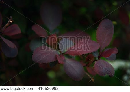 Purple Background From The Leaves Of Japanese Barberry (barberry Thunbergii, Thunbergs Barberry, Red