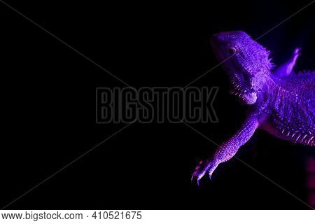 A Lizard Lies In Sunbed Under An Ultraviolet Lamp In A Tanning Salon. Spa Procedures Concept. Copy S