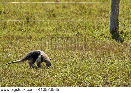 Southern Tamandua, Tamandua Tetradactyla, Also Collared Anteater Or Lesser Anteater, Is A Species Of